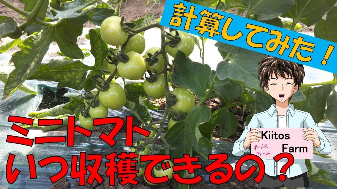 【ミニトマトの栽培】このトマトいつ収穫できる?計算してみよう!