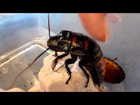 Шипящие тараканы
