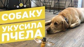 Собаку укусила пчела (оса) : что делать?