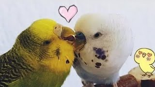 this is how budgie love & hate looks like