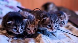 Продаются котята Scottish Fold в Зеленограде фото