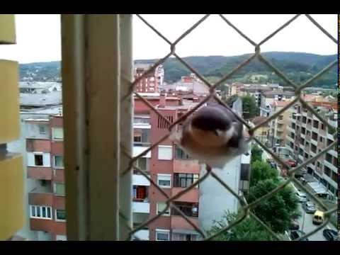Lasta - The Swallow - Delichon urbicum