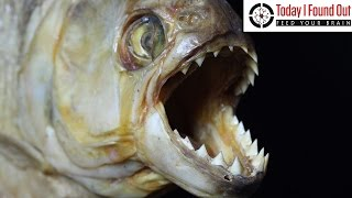 Could Piranhas Really Turn You Into a Skeleton in a Matter of Minutes?