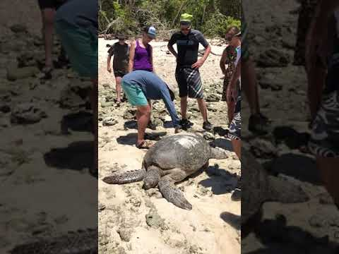 Green turtle rescue by tour group on Lady Musgrave Island, Australia