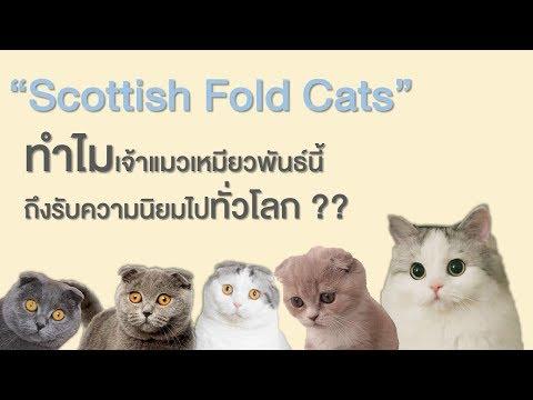 """EP1 : """"Scottish Fold Cats"""" ทำไมแมวพันธุ์นี้ถึงได้รับความนิยมทั่วโลก!!"""