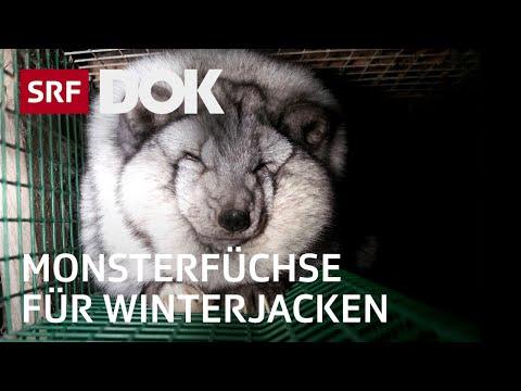 Pelz  an Winterjacken – Das Leiden von Polarfuchs und Marderhund in Finnland | Reportage | SRF DOK