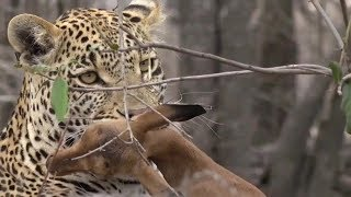 SafariLive Nov 22 - Leopard playing with Impala baby. Rugged nature.