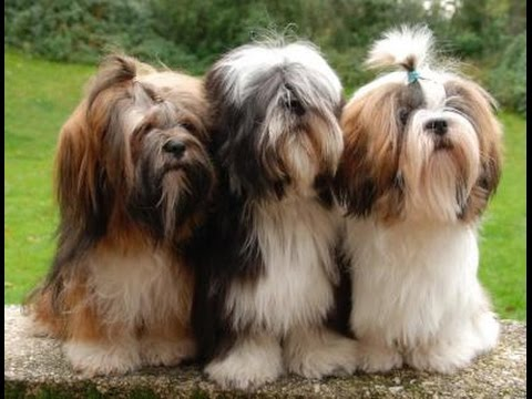Lhasa Apso World's Best Video Compilation of Funny/Fighting/Playfull puppies and dogs in HD