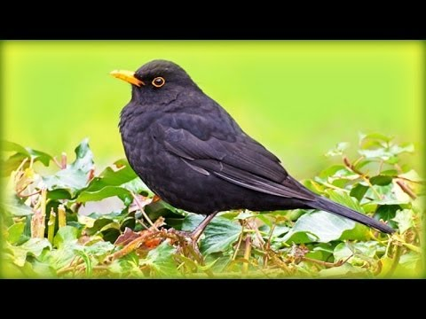 ❀ Countryside Birds and Sounds - for a Lively Start to the Day