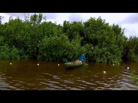 Amazônia Repórter - Manejo de Pirarucu em Mamirauá