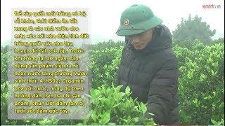 Nghề trồng quất đầu năm tại xã Nam Phong, Tp. Nam Định