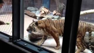 Tiger Training Session At Henry Doorly Zoo In Omaha.