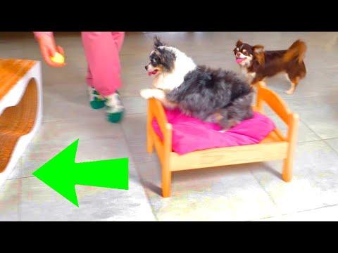 Полоса препятствий для 4 собак! Тренировка аджилити дома на карантине! Кто из собак пройдет?