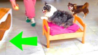 Полоса препятствий для 4 собак Тренировка аджилити дома на карантине Кто из собак пройдет?