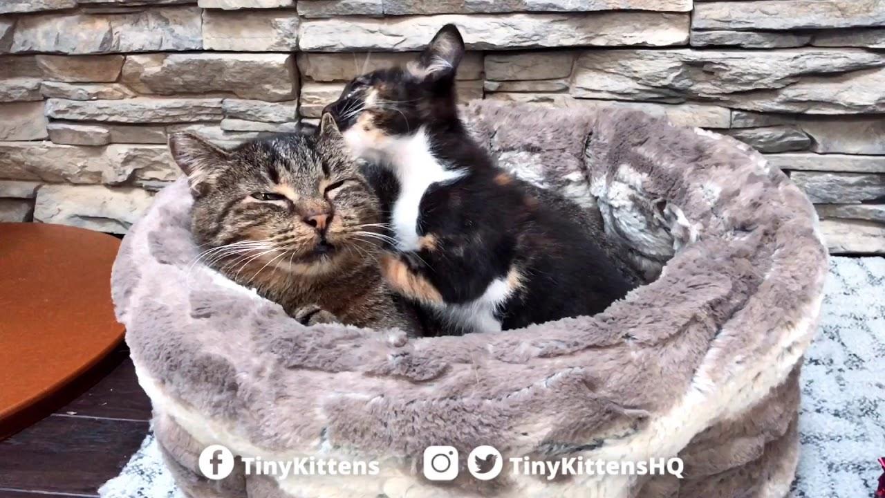 Aura the Cleft Palate Kitten's love language is wet willies.   TinyKittens.com