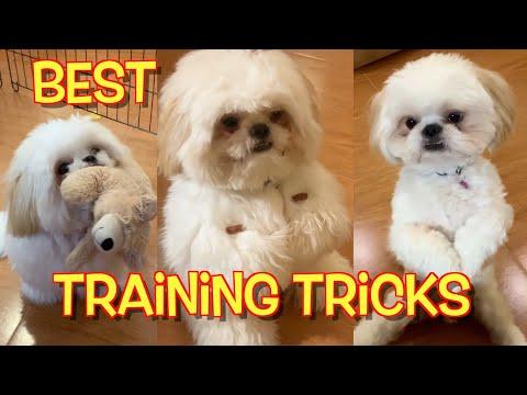 Best of Borgy's Training Tricks (Borgy the Shih Tzu Compilation)