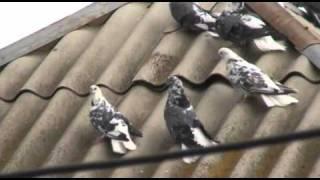 Серпасто-выворотные голуби у Володи в Матвеевке