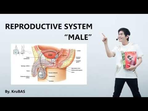 ชีววิทยาครูบาส เรื่อง male reproductive system