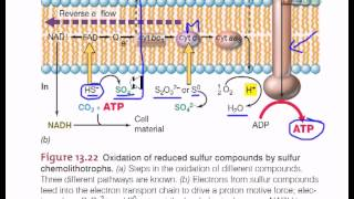 Electron flow in sulfur chemolithotrophic bacteria