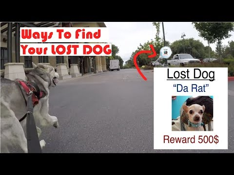 How To Find Your Lost Dog, MIcrochipped Siberian Husky, Tag ID