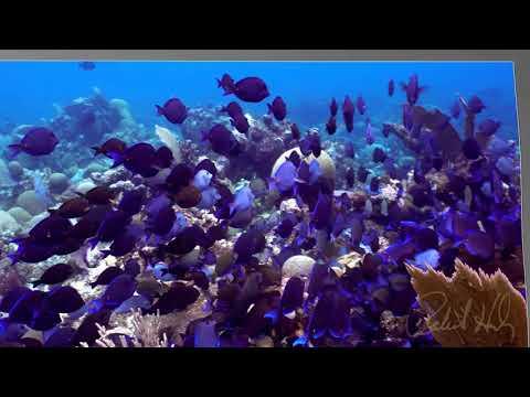 Copy of Blue Tangs grazing at Sea Star Channel, Roatan, Hondursa