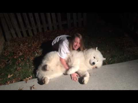 Stubborn Samoyed-Trying to get Cody in from the cold at bedtime.