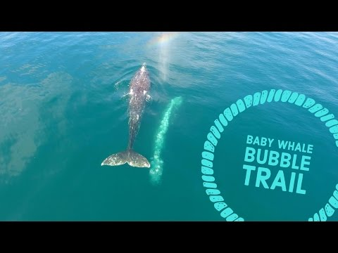 Baby Gray Whale Blowing Cute Bubbles