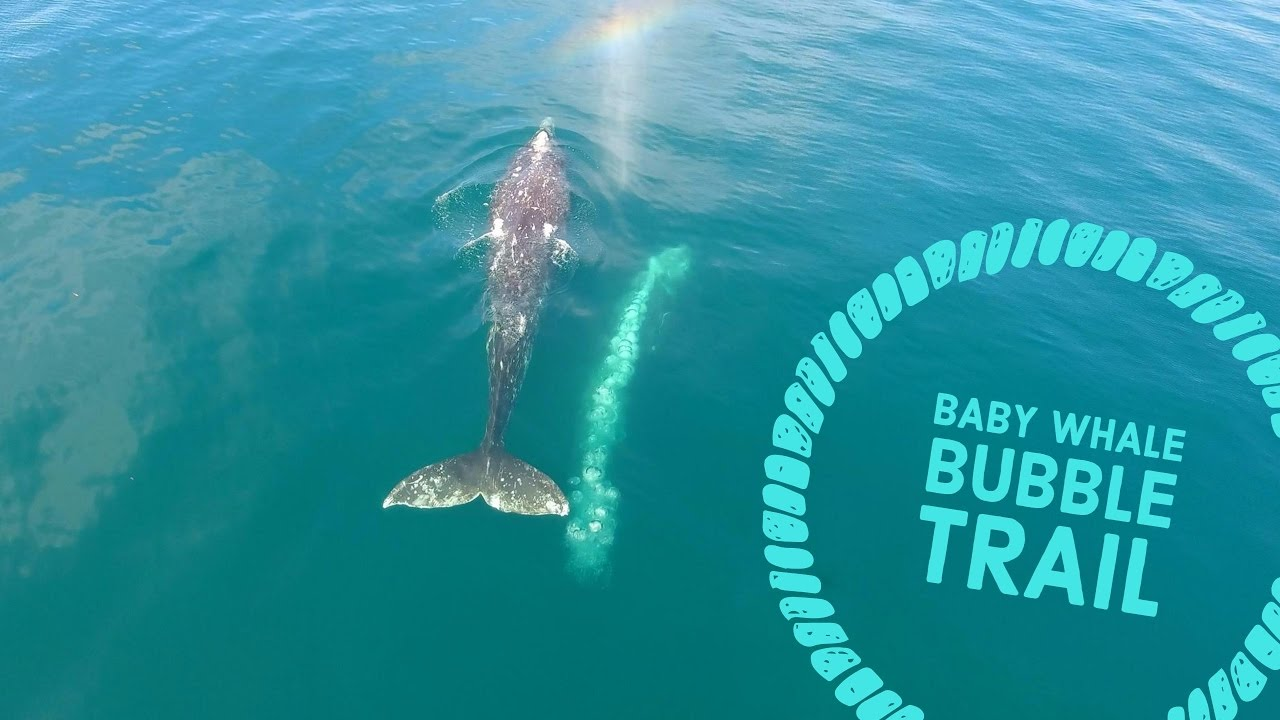 Baby Gray Whale Blowing Cute Bubbles - YouTube