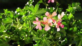 Pelargonie zwisające - na co zwrócić uwagę podczas ich sadzenia? / Ogród na co dzień