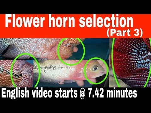 Flower Horn Selection Tips