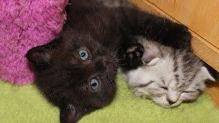 Шунины котята. От рождения до полутора месяцев.