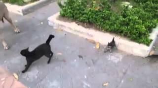 Кошка яростно защищает своих котят от большой собаки