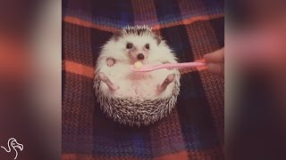 Hungry Hedgehog Munches On Apple