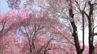 Koan - Sakura