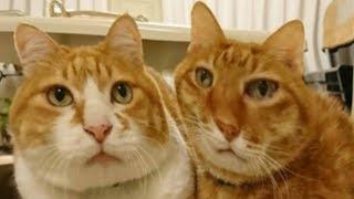 РЫЖИЕ КОТЫ ПРИКОЛЫ с озвучкой! Смешные животные смешная озвучка коты