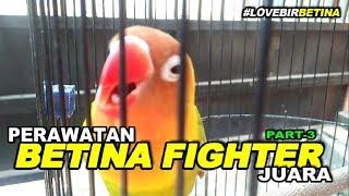 PERAWATAN LOVEBIRD BETINA SINGLE FIGHTER - part 3