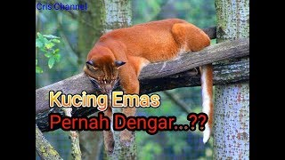 Download Video 5 Fakta Menarik Tentang Kucing Emas MP3 3GP MP4