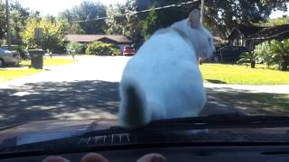 Cat hitches a ride on the hood of my car