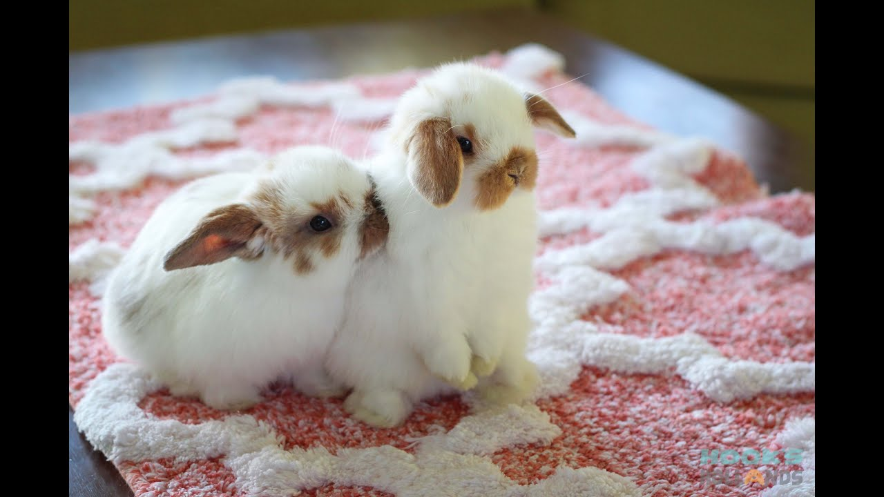 Cute Baby Holland Lop Bunnies Playing Inside The House Youtube