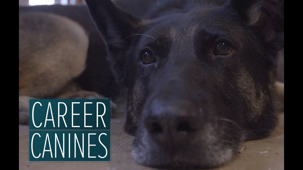 Wounded warrior dog helps Army sergeant return home from Afghanistan - 'Career Canines' S1