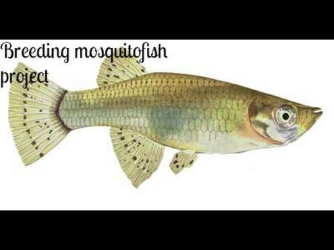 Breeding Mosquito Fish Project