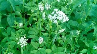 Зелёная аптека - Сныть трава и Дикая морковь - сможем их отличить?