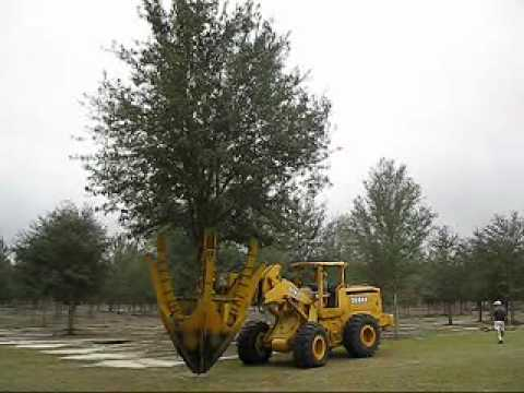 Newly Dug Live Oak Tree Being Moved To Basket Harden Off For Home Owner You