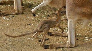 アカカンガルーの赤ちゃんです(多摩動物公園にて。2015年10月撮影) ht...