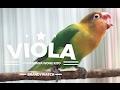 BRANDYWATCH : Kisah Sedih Lovebird VIOLA Terlantar Di Bandara Akhirnya KONSLET Lagi ! mp3 indir