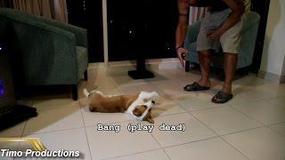 Corgi Puppy Tricks and Training at 4 months HD