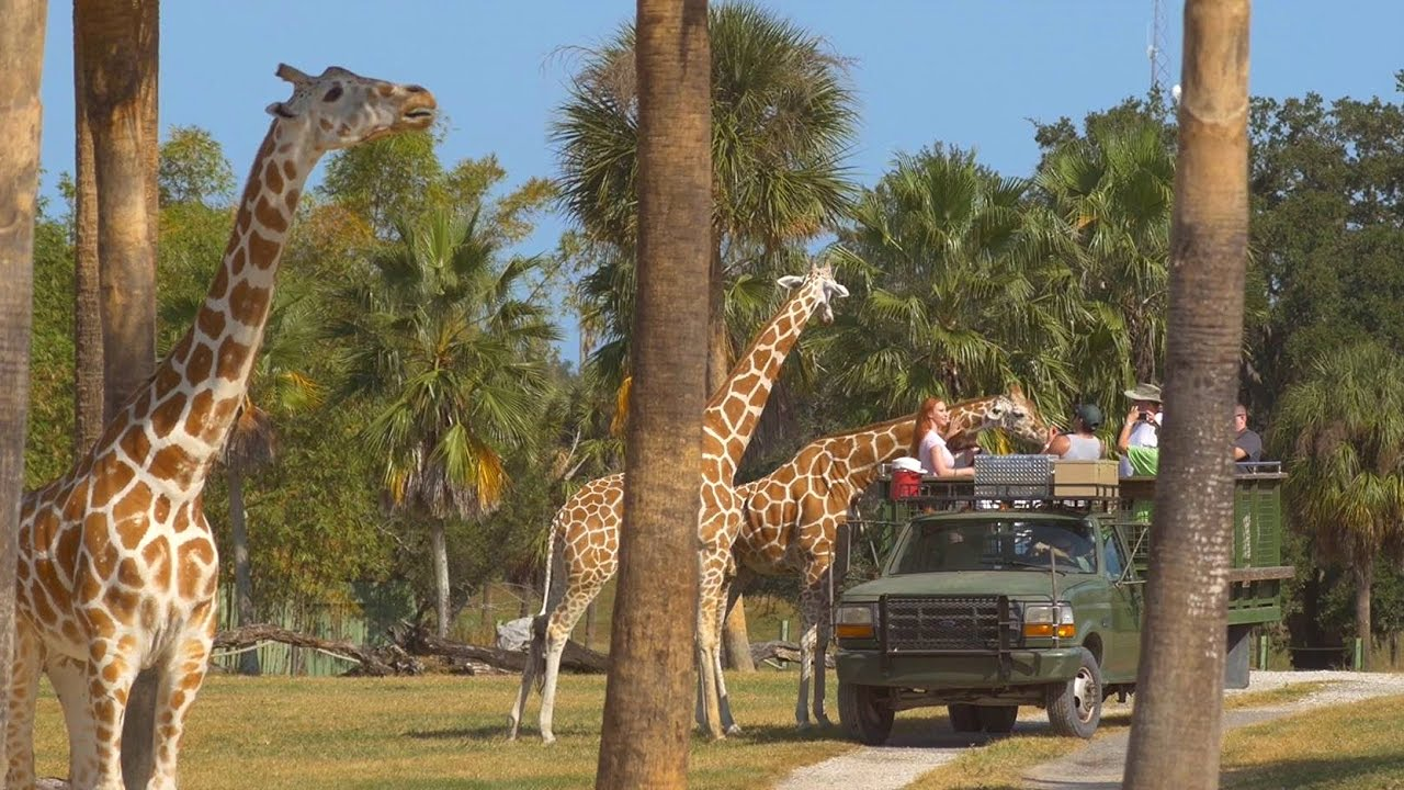 busch gardens serengeti safari. Florida Travel: Meet Amazing Animals On The Serengeti Safari At Busch Gardens