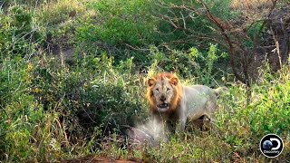Lions Unhappy with Naked Survivalists
