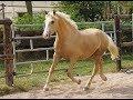 Poney D à vendre - Elan - Hongre PFS - 3 ans - 1m47