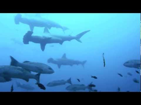Hammerheads of Cocos Island